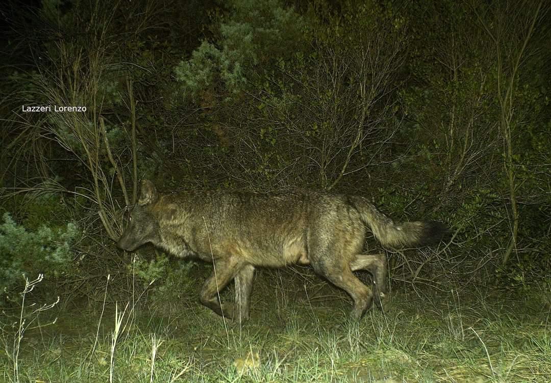 Križanci volk-pes