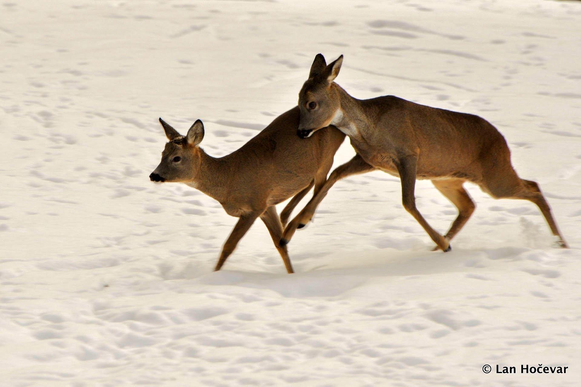 Bewertung des Einflusses des Wolfs auf wildlebende Beutetiere