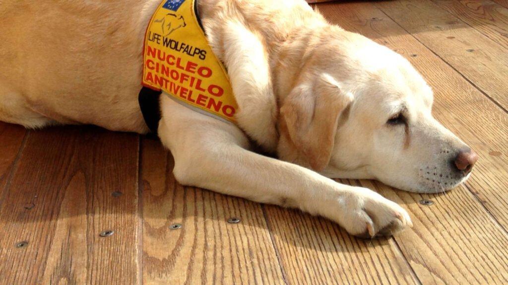 Nourriture d'exception pour chiens d'exception ! - Life Wolfalps EU