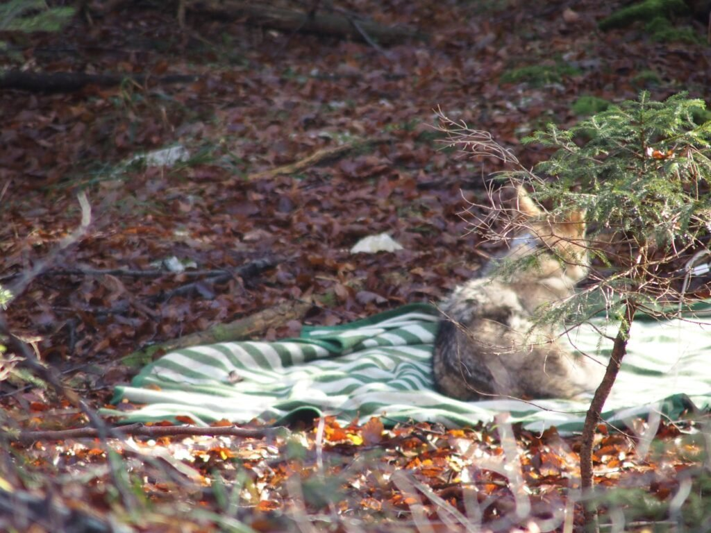 Jelko – a new wolf with telemetry collar in Slovenia - Life Wolfalps EU