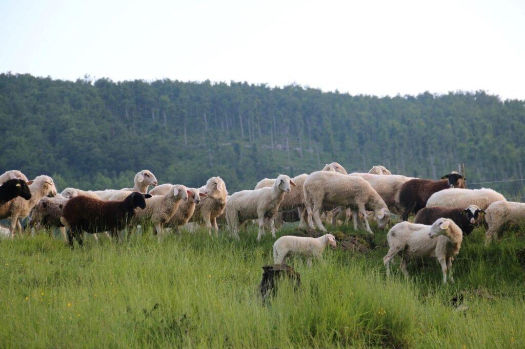 Ureditev prilagojene obore za nočno varovanje drobnice v najvišji slovenski vasi - Life Wolfalps EU