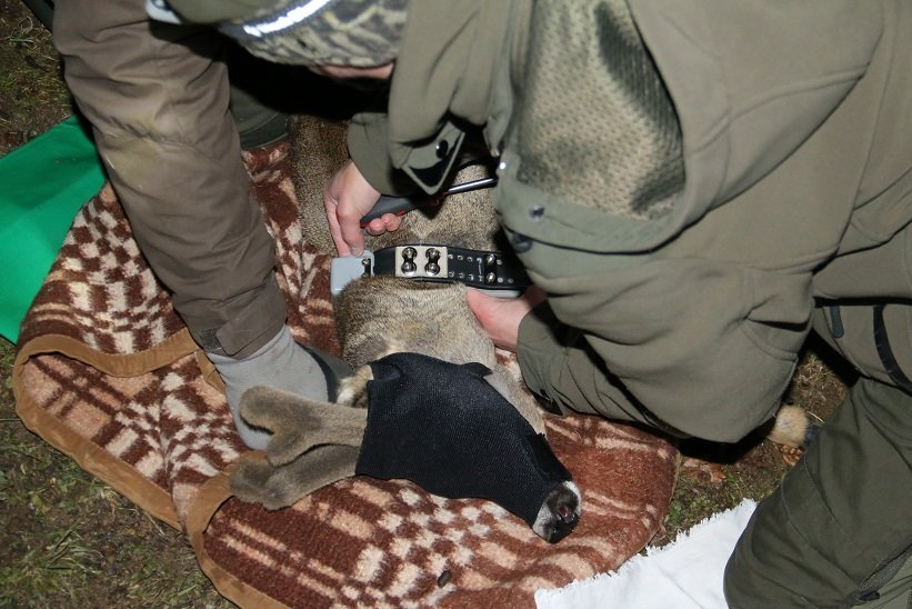 First roe deer radio-collared in Slovenia - Life Wolfalps EU