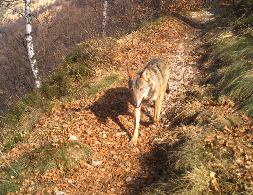 Presentati i dati sulla presenza del lupo nel Verbano Cusio Ossola - Life Wolfalps EU