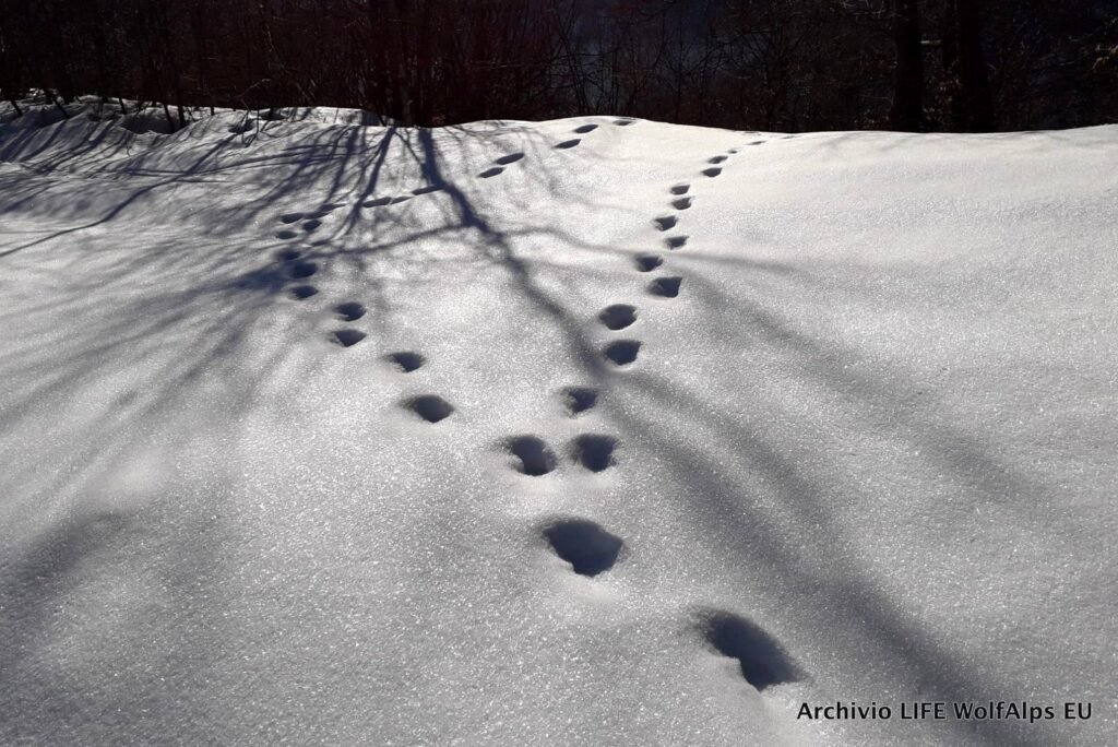 """""""Phase 1"""" of the Italian Wolf Monitoring has been concluded - Life Wolfalps EU"""