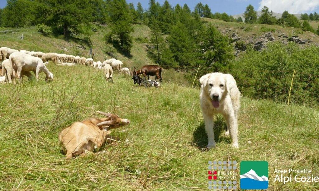 Pastore maremmano abruzzese con gregge di pecore (foto S. Dalmasso - Aree protette Alpi Cozie)