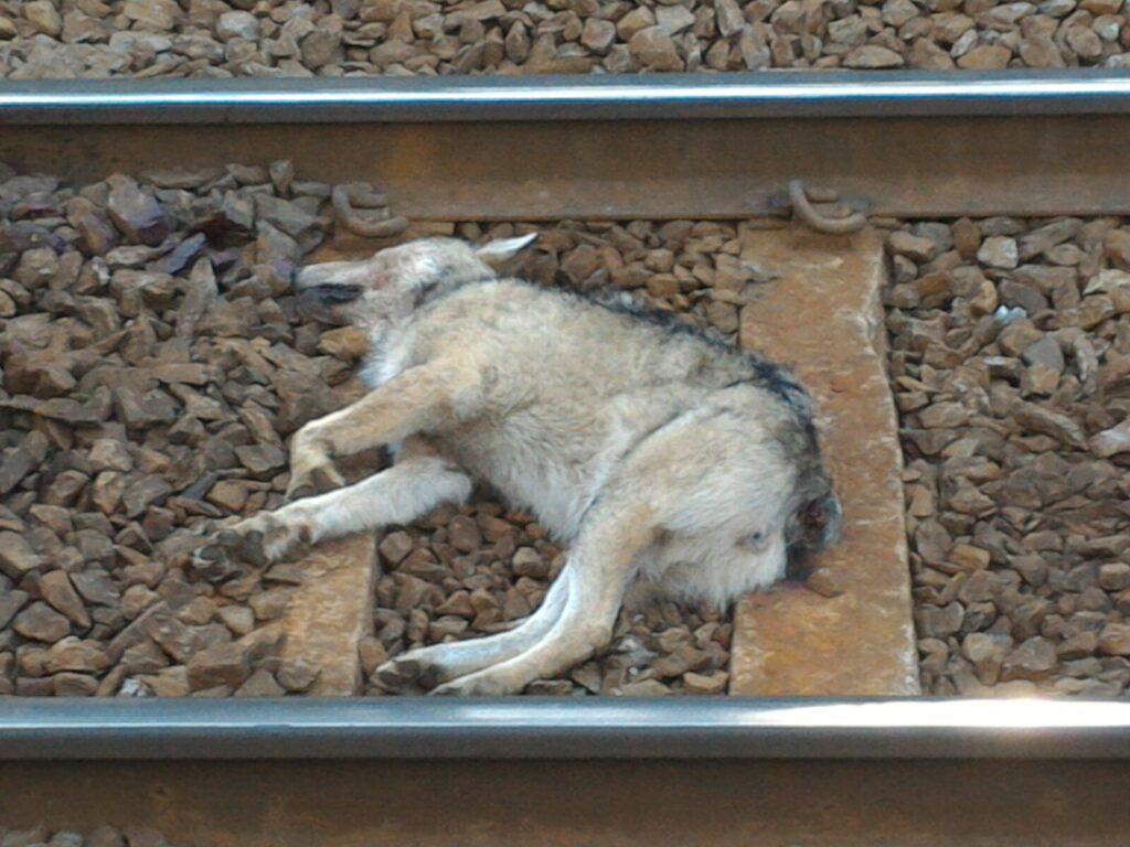 L'Azione C6: ridurre l'impatto delle strade e delle ferrovie sul lupo - Life Wolfalps EU