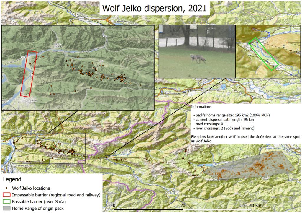 Wolf Jelko's dispersal - Life Wolfalps EU